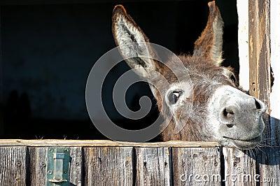 Lustiger Esel