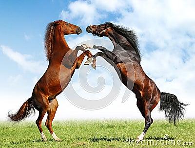 Luta dos cavalos