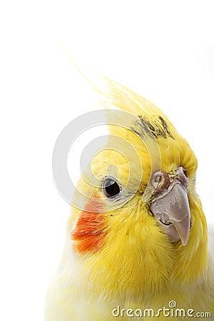 Free Lutino Cockatiel Stock Photos - 7202183