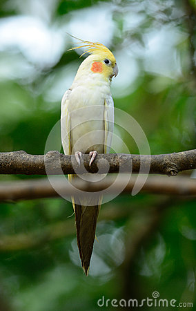 Free Lutino Mutation Cockatiel (Nymphicus Hollandicus) Royalty Free Stock Photo - 45605775