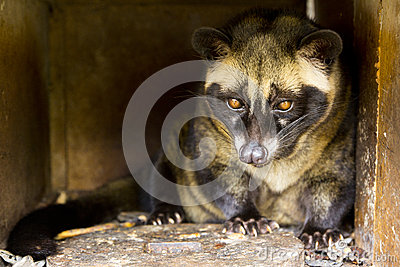 Luwak civet cat