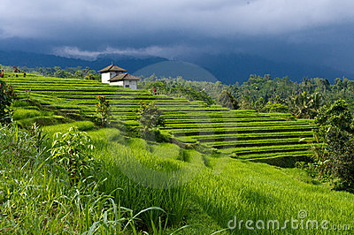 Luxuriant rice fields