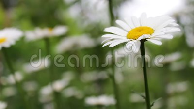 Luxurious blooming daisies bloom in summer garden. Luxurious blooming daisies bloom in the summer garden stock footage