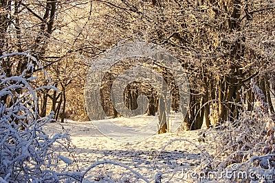 Luz da manhã em uma cena do inverno na floresta