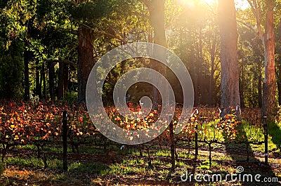 Luz de la mañana en los viñedos