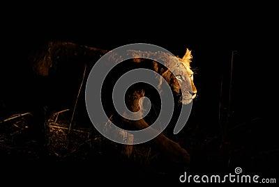 Lwa czajenie