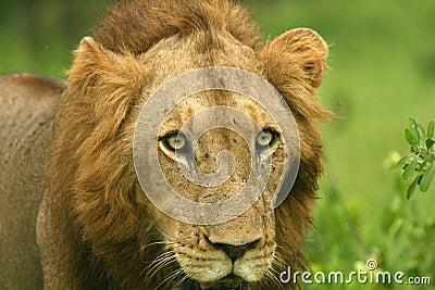 Lwa gapienie