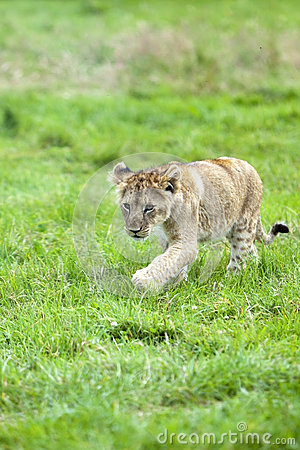 Lwa śliczny lisiątko