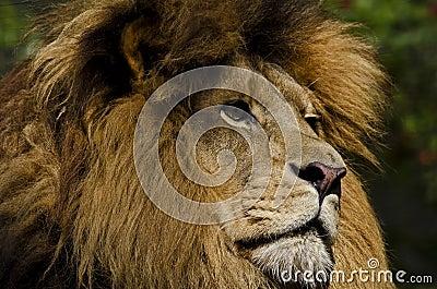 Löwe-Anstarren