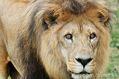 Löwe auf dem Prowl