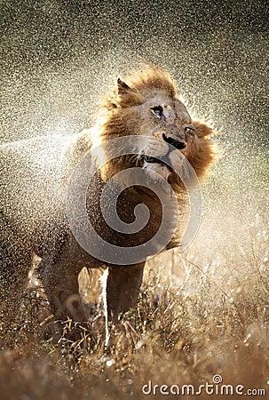 Löwe, der weg vom Wasser rüttelt