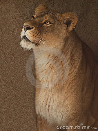 Lwica portret
