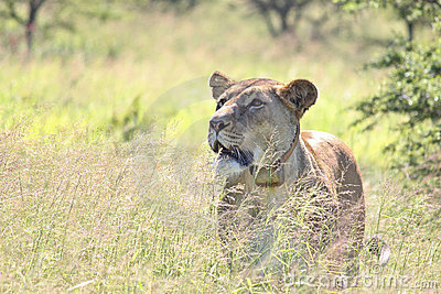 Lwicy prowl