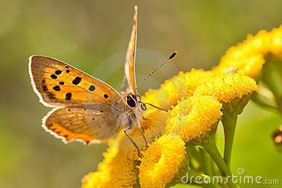 Lycaena Phlaeas butterfly