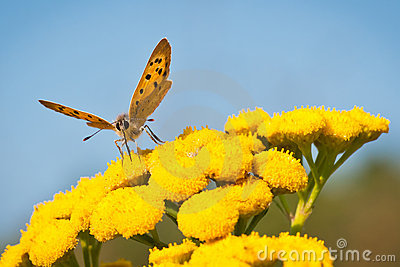 Lycaena Phlaeas butterfly