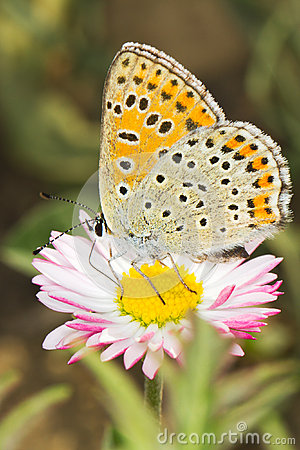 Lycaena tityrus / Blue Sooty Copper butterfly