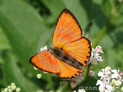 Lycaena virgaureae Linnaeus 1758 Scarce Copper