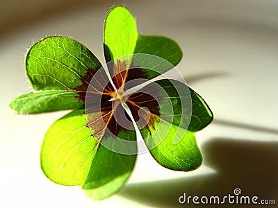 Lycklig växt av släkten Trifolium