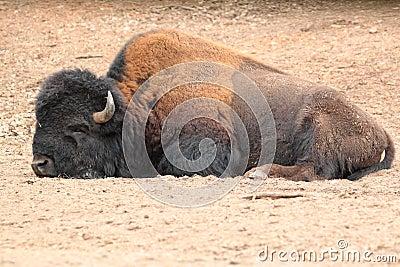 Lying american bison