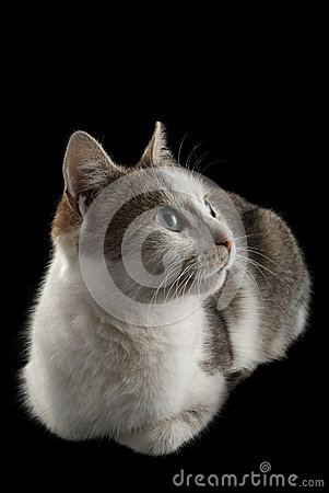 Free Lying Cat Watching On  Black Background Royalty Free Stock Photography - 29359187