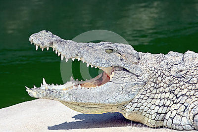 Nile crocodile on the banks