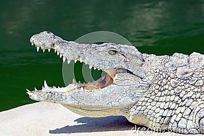 Lying crocodile