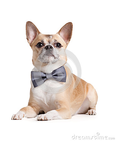 Lying doggy with bow tie