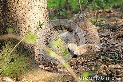 Lying eurasian lynx