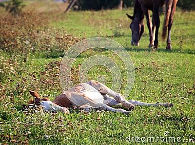 Lying foal