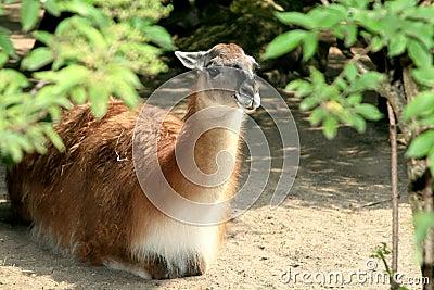 A lying llama (Guanaco)
