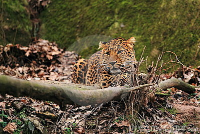 Lying north china leopard