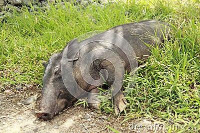 Lying pig