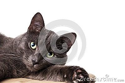 Lying russian blue cat
