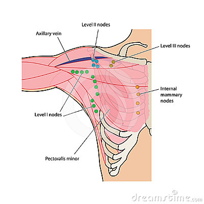 Lymph nodes of the chest and axilla