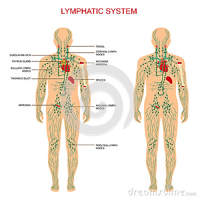 Free Lymphatic System, Stock Photo - 52354380