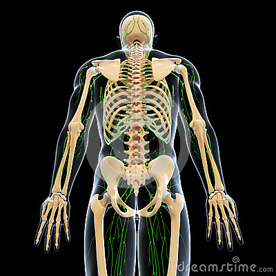 Lymphatic system with back side of skeleton