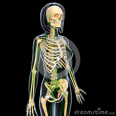 Lymphatic system of female body skeleton side view