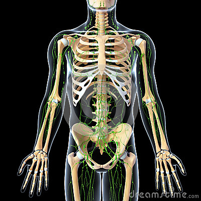 Lymphatic system with front view of skeleton