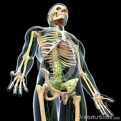 Lymphatic System Full Body Skeleton