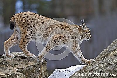 Lynx на утесе