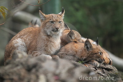 Lynx семьи