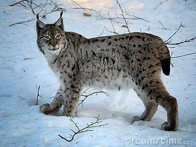 евроазиатская зима lynx