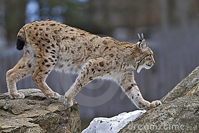 гулять lynx