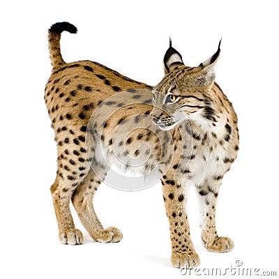 Lynx (2 ans)