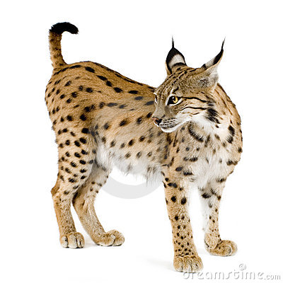 Lynx (2 jaar)