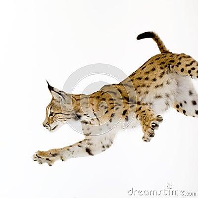 Lynx (2 years)