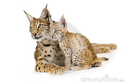 Lynx (2 years) and her cub