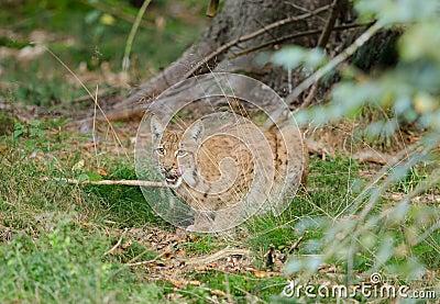 европейский lynx