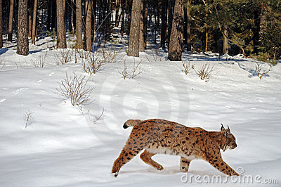 зима lynx