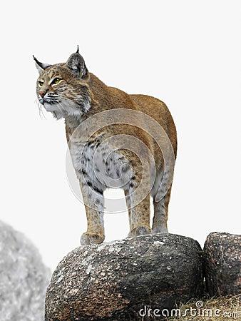 Free Lynx Royalty Free Stock Photography - 24218117